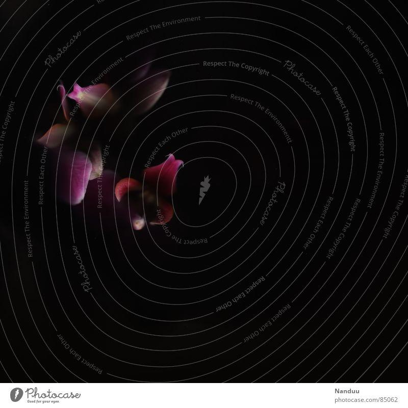 Blühende Dunkelheit Blume schwarz dunkel Blüte Traurigkeit rosa Hoffnung Vergänglichkeit Blumenstrauß Orchidee welk Pollen Blütenblatt verblüht Farbfleck