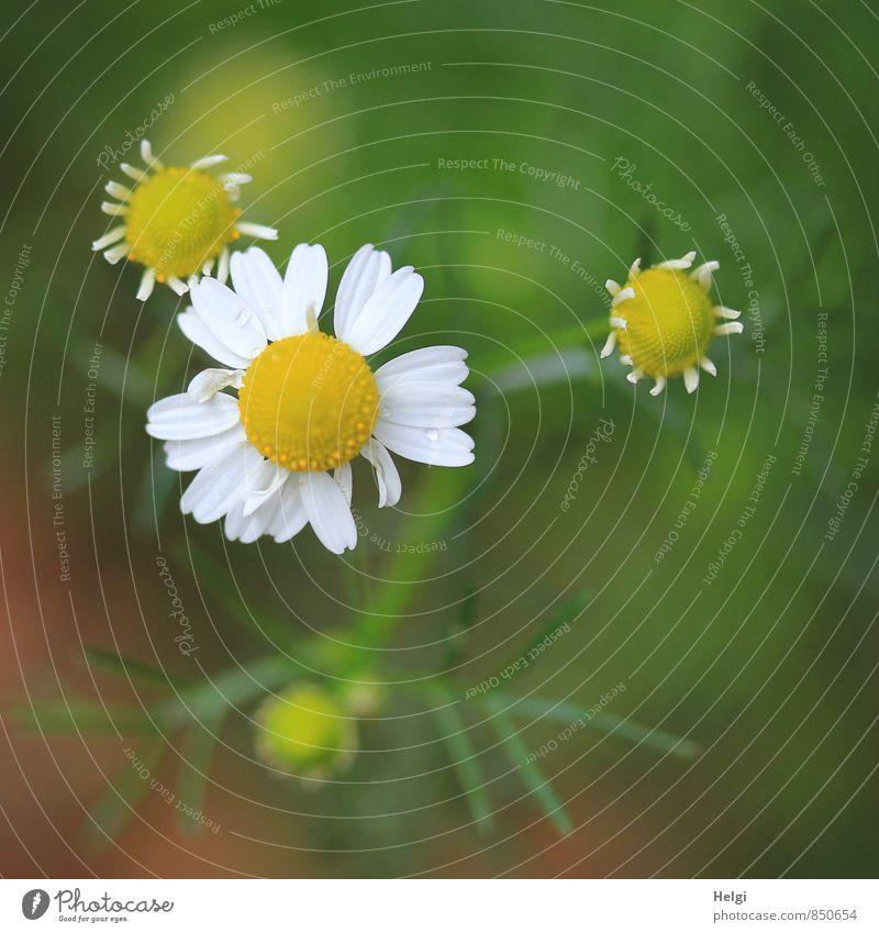 Kamilla... Umwelt Natur Pflanze Sommer Blume Blüte Wildpflanze Blütenknospen Wiese Blühend stehen Wachstum ästhetisch einfach klein natürlich gelb grün weiß