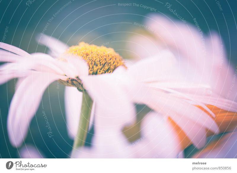 gentle french daisy Natur Pflanze weiß Sommer Erholung Blume Blatt gelb Wiese Stimmung orange Wachstum Zufriedenheit Fröhlichkeit Blühend Freundlichkeit
