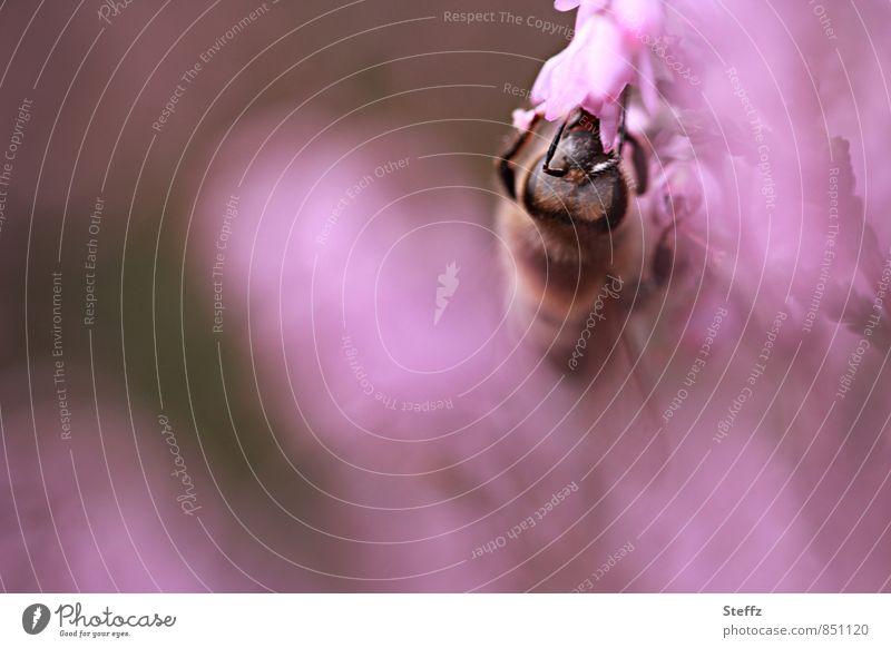 ganz in rosa Natur Pflanze Sommer Blüte Stimmung Idylle Blühend lecker Biene sommerlich Fühler fleißig Wildpflanze Heide Bergheide
