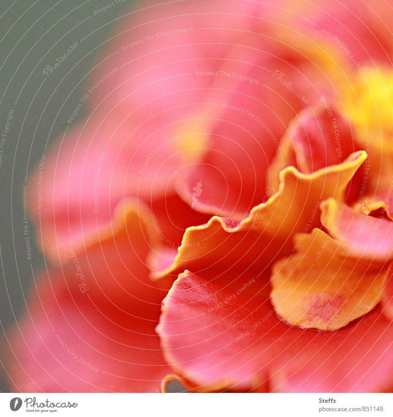 blühende Studentenblume Tagetes Blume Balkonpflanze Beetpflanze Zierpflanze Sommerblumen warme Farbe orangerot natürlich Sommergefühl Samtblume Türkische Nelke