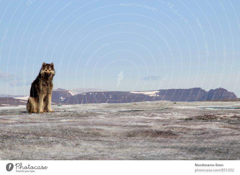 Schlittenhund(1) Hund Tier Berge u. Gebirge grau Eis dreckig Frost Klimawandel Gletscher geduldig Nutztier Grönland