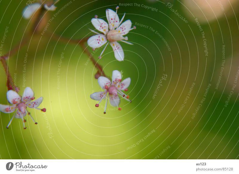 zarte blueten Natur Blume grün rot Sommer Blüte Garten klein rosa Punkt Kunstwerk winzig