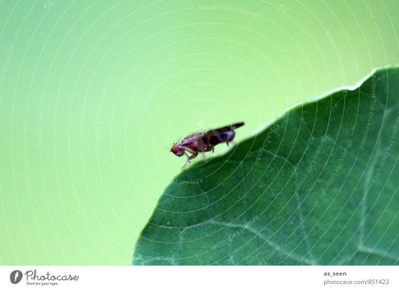 Balanceakt Garten Umwelt Natur Pflanze Tier Blatt Fliege 1 berühren hocken krabbeln ästhetisch hell grün Frühlingsgefühle bizarr Design ruhig Fliegenbeine