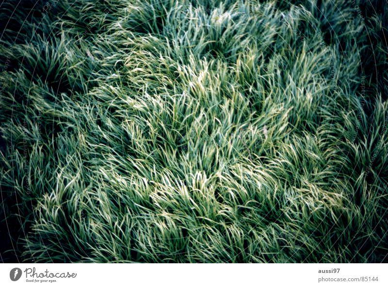 Zerzaust Natur grün Wiese Gras Wind weich analog Halm Vignettierung zerzaust umgeknickt