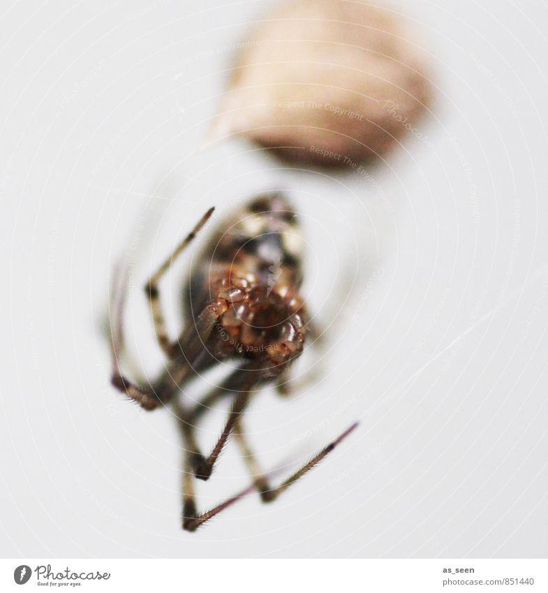 Im Netz der Spinnenfrau Tier 1 beobachten berühren krabbeln Aggression bedrohlich eckig Ekel Natur Netzwerk Kokon Auge spinnen Spinnenetz gefangen Insekt
