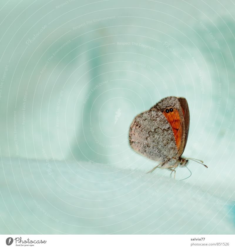 frostige Mahlzeit Umwelt Winter Klimawandel Eis Frost Schnee Wildtier Schmetterling 1 Tier frieren außergewöhnlich hell kalt weich blau weiß Vertrauen ruhig