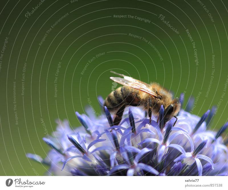 Emsig Leben Duft Umwelt Natur Pflanze Tier Sommer Blüte Wildpflanze Garten Nutztier Biene Blühend genießen krabbeln Liebe ästhetisch klein lecker natürlich süß
