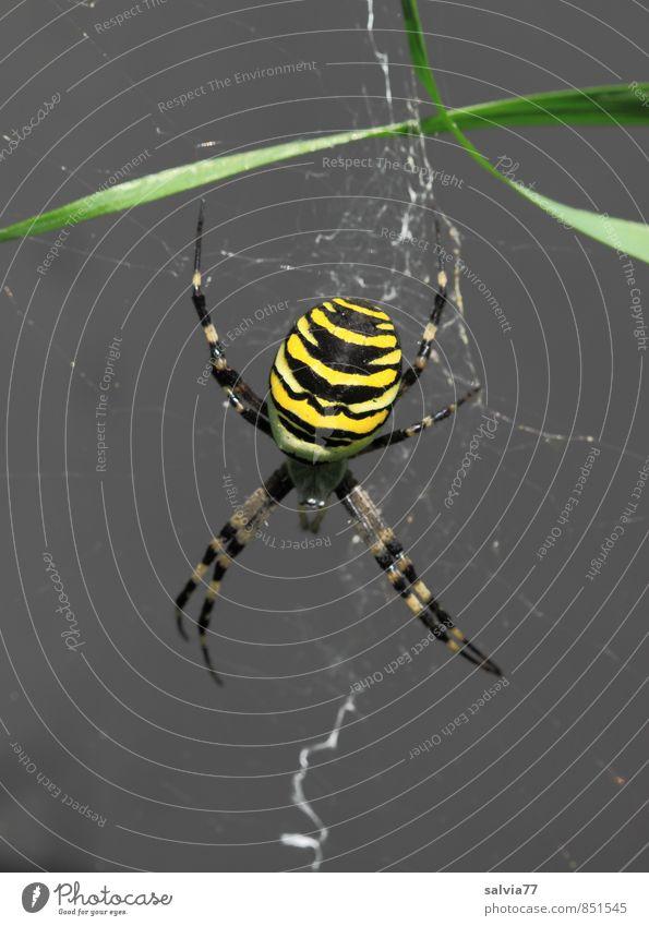 auf der Lauer Umwelt Natur Tier Sommer Wildtier Spinne 1 fangen warten ästhetisch bedrohlich Ekel exotisch gruselig listig gelb schwarz achtsam Wachsamkeit