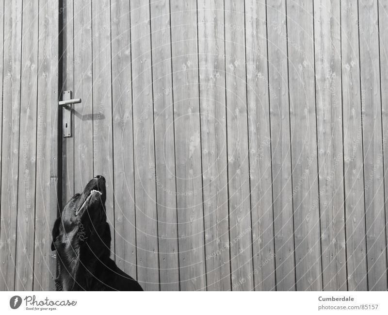 Lucky Sommer schwarz Einsamkeit dunkel Holz Hund Tür Hintergrundbild Gebiss Sehnsucht Holzbrett Säugetier Griff Labrador Balken Holztür