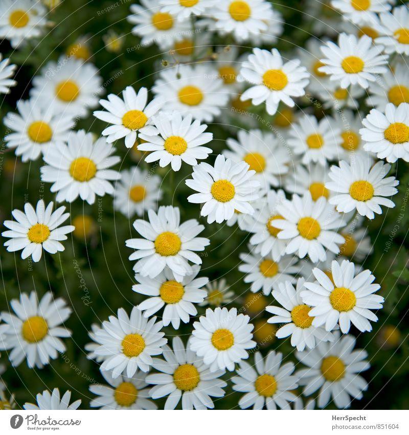 gleich & gleich... Natur Pflanze schön weiß Blume gelb Blüte Frühling Wachstum ästhetisch niedlich Blühend viele Gänseblümchen Blumenwiese Frühlingsgefühle