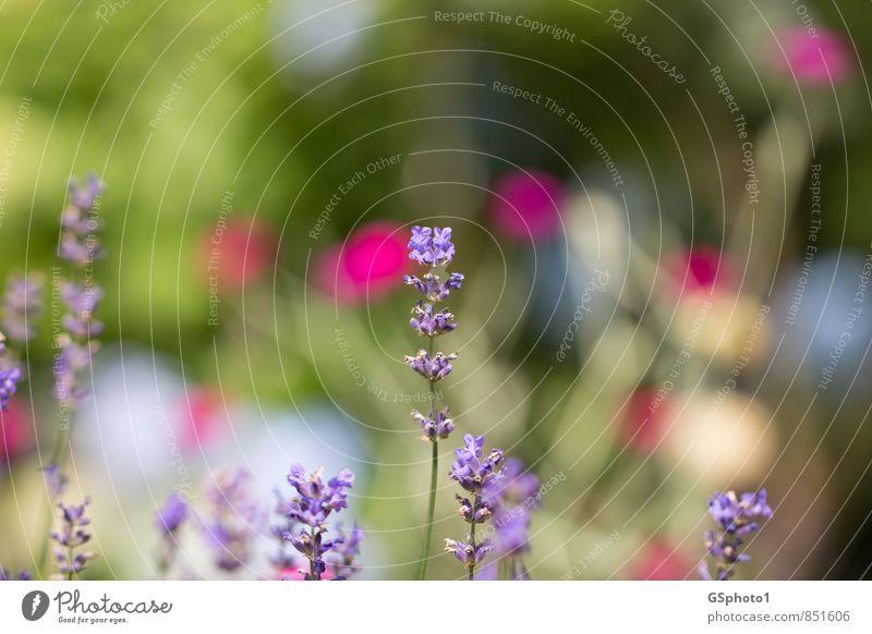 Frühlingsfarben Natur Pflanze Schönes Wetter Blume Blüte Wärme violett Farbe Lavendel Heilpflanzen Farbfleck Farbfoto Außenaufnahme Nahaufnahme Menschenleer Tag