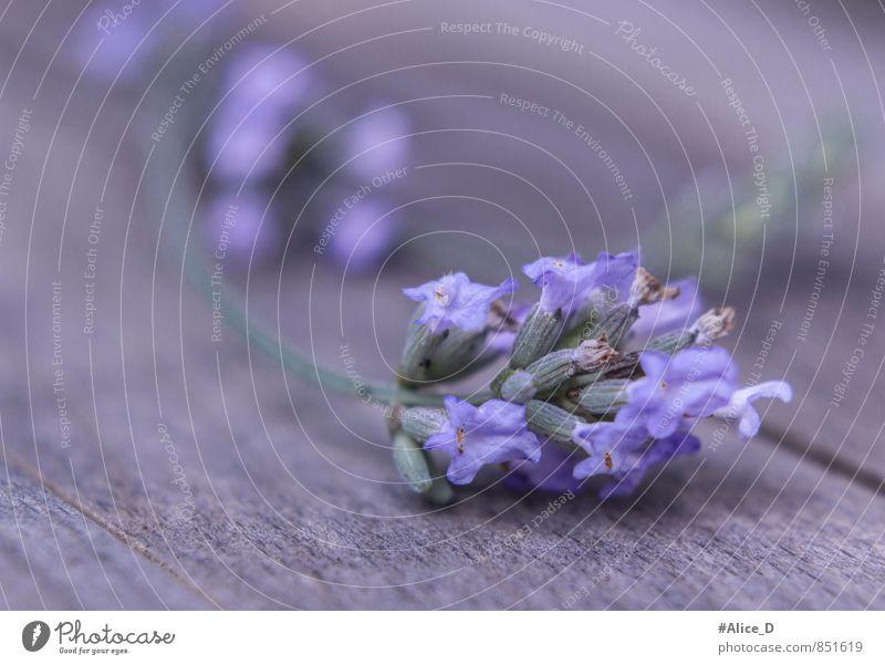"""Echte Lavendel Alternativmedizin Gesunde Ernährung Natur Pflanze Blume Grünpflanze Nutzpflanze Wildpflanze Duft schön einzigartig blau violett """"Provence"""