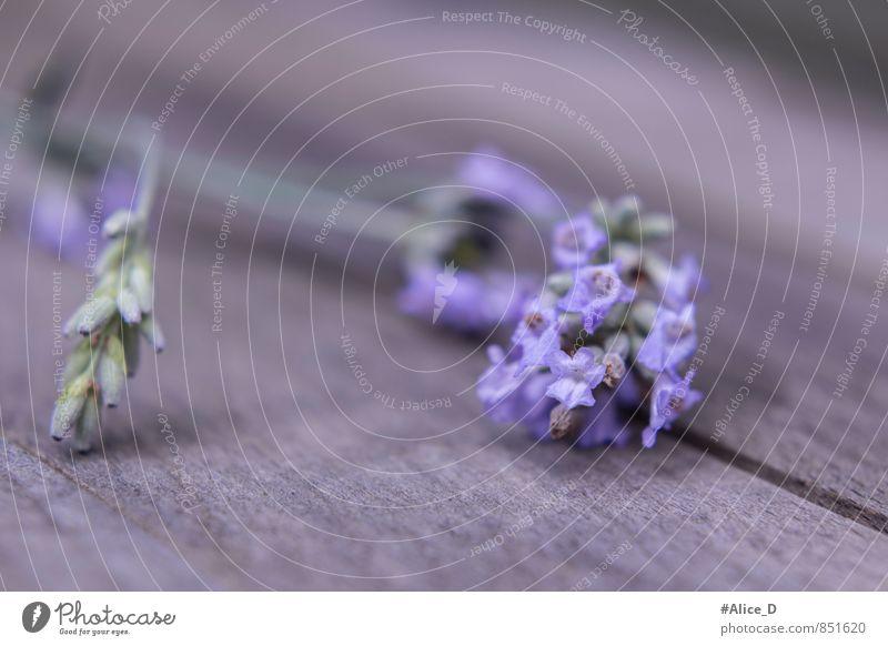 """Lavendel Blüte Kräuter & Gewürze Alternativmedizin Natur Pflanze Sommer Blume Nutzpflanze Garten blau grau violett einzigartig """"Provence Blütenständen Knospe"""