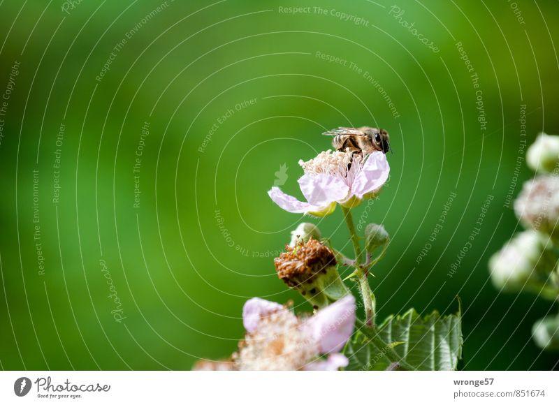 Honigsammlerin Sommer Pflanze Sträucher Blüte Nutzpflanze Wildpflanze Brombeeren Tier Nutztier Biene Insekt 1 grün rosa Imker fleißig Nahaufnahme Detailaufnahme