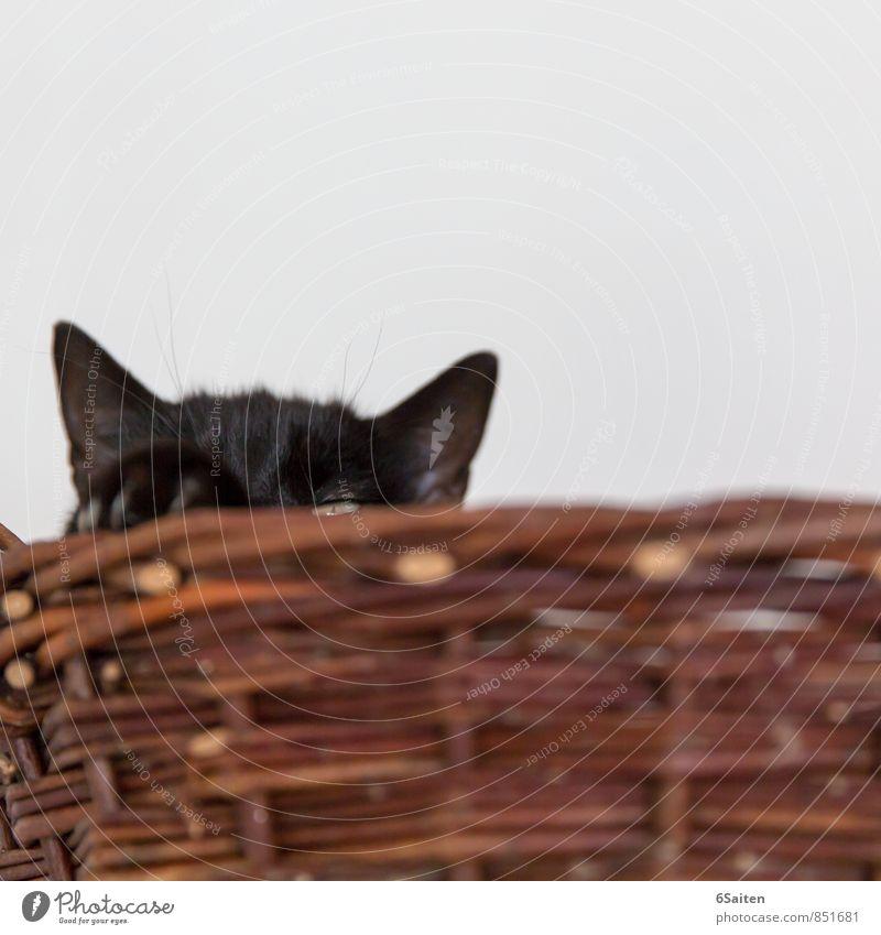 Burgherrin Tier Haustier Katze Tiergesicht Krallen Pfote Katzenohr 1 beobachten hören liegen Blick träumen Häusliches Leben Zufriedenheit Kraft Wachsamkeit