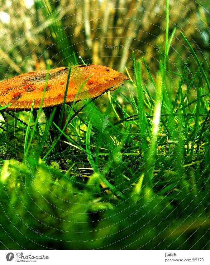 mushroom... mushroom! Halm Gras grün Frühling Wiese braun Herbst Gemüse Pilz Pflanze Natur Rasen Garten