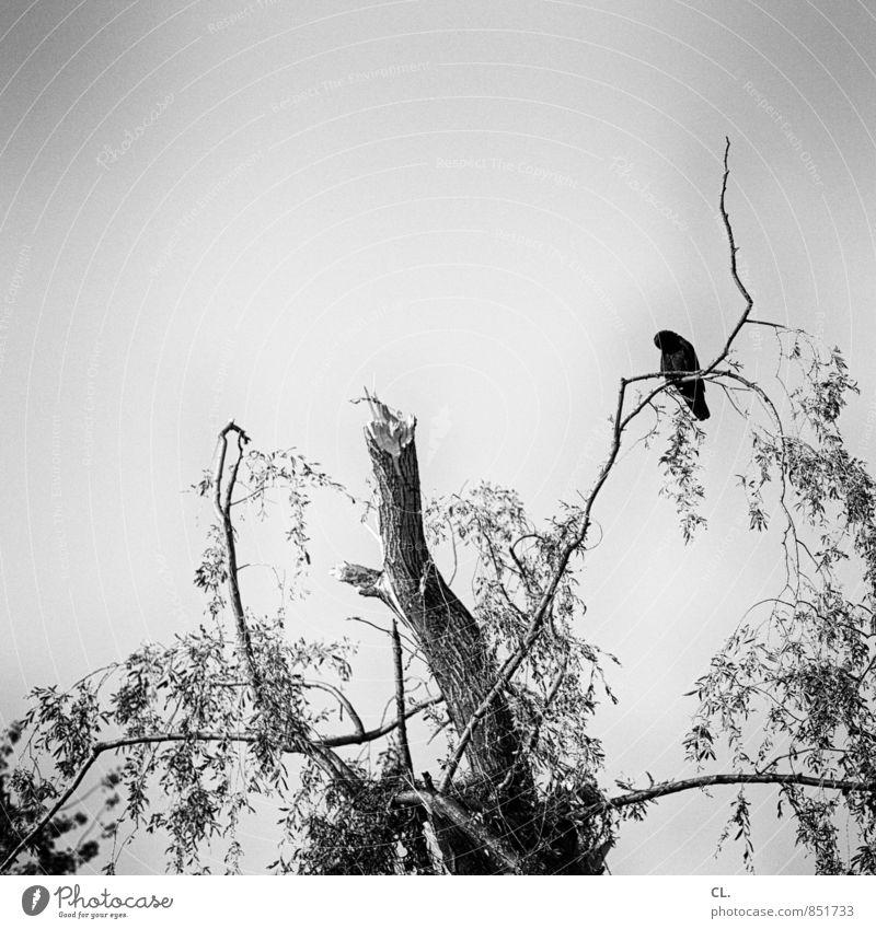 nach dem sturm Umwelt Natur Himmel Klima Wetter schlechtes Wetter Unwetter Wind Sturm Baum Park Wald Tier Vogel 1 bedrohlich ruhig Zerstörung Schwarzweißfoto