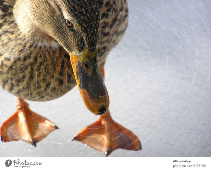 Ente Natur Wasser Tier Küste Traurigkeit See Vogel Eis Schwimmen & Baden Feder Trauer Schnabel Schüchternheit Gewässer Federvieh