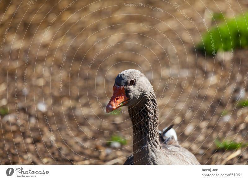 duck face Tier Nutztier 1 braun Geflügel Ente Gans Vogel Menschenleer bokey Erde Schnabel Farbfoto Gedeckte Farben Außenaufnahme Textfreiraum oben Tag