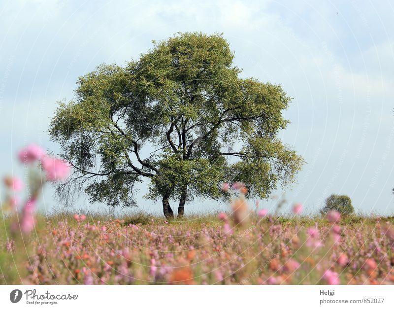 im Moor... Umwelt Natur Landschaft Pflanze Himmel Sommer Schönes Wetter Baum Blume Blüte Wildpflanze Heide Heidekrautgewächse Blühend stehen Wachstum ästhetisch
