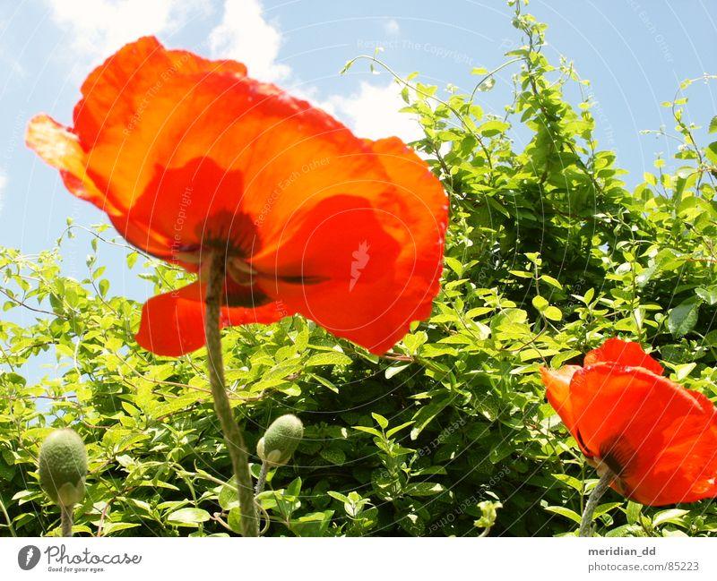 Mohnblume Natur Himmel Blume grün blau rot Sommer Freude Wolken Schönes Wetter harmonisch