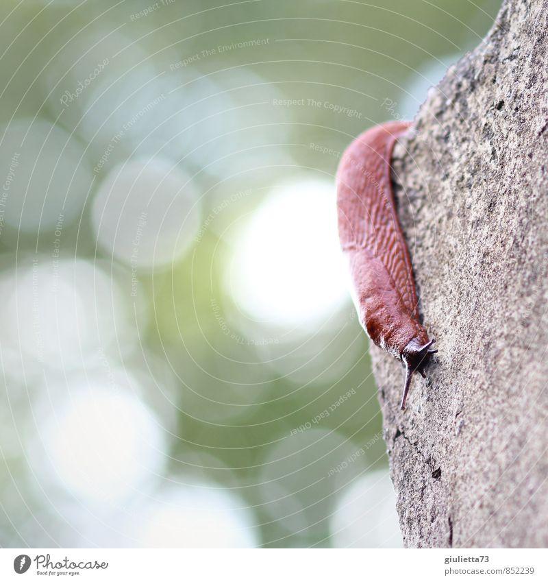 ...ab jetzt gehts abwärts Tier Schnecke Nacktschnecken Wegschnecke 1 Stein Beton Ekel nackt nass schleimig weich braun ruhig Tiergesicht Schleimer krabbeln