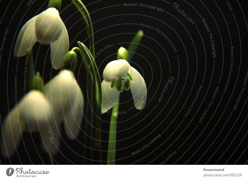 Die Glöckchen Schneeglöckchen Frühling aufwachen Pflanze Glocke Blüte grün Februar März Garten Auferstehung Frost Leben Gruselglöckchen