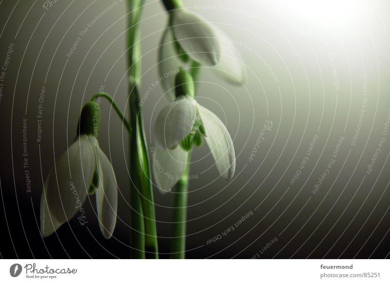 Glöckchen im Mondlicht Pflanze grün Leben Blüte Frühling Garten Frost aufwachen Glocke März Auferstehung Schneeglöckchen Februar