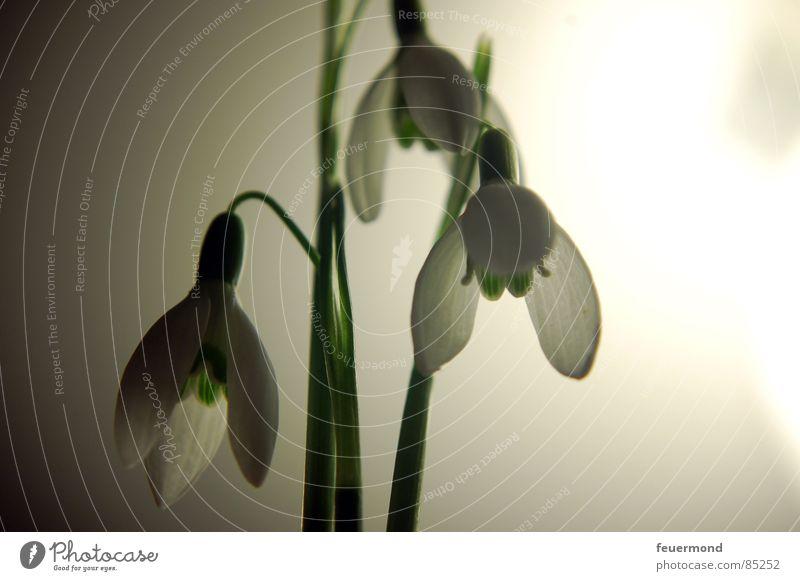 Glöckchen im Mondlicht 2 Pflanze grün Leben Blüte Frühling Garten Frost aufwachen Glocke März Auferstehung Schneeglöckchen Februar