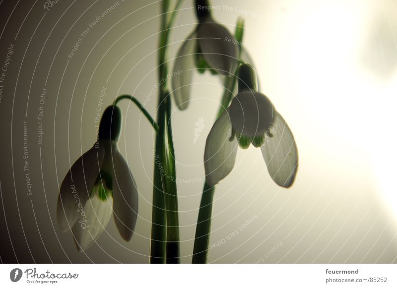 Glöckchen im Mondlicht 2 Schneeglöckchen Frühling aufwachen Pflanze Glocke Blüte grün Februar März Garten Auferstehung Frost Leben