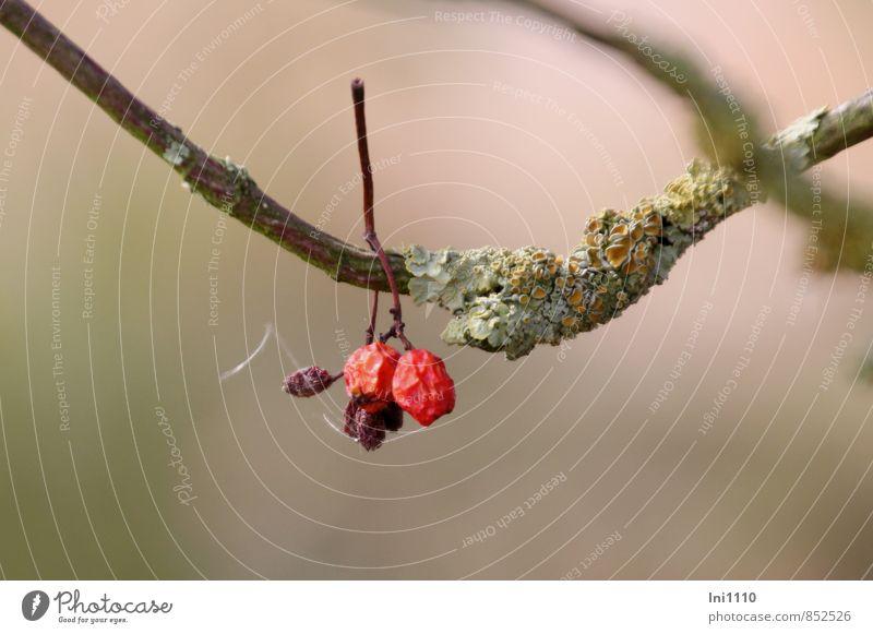 Hagebutten Flechten Natur Landschaft Pflanze Luft Sonnenlicht Sommer Baum Moos Wildpflanze Feld hängen dehydrieren braun gelb gold grau grün rosa rot bizarr