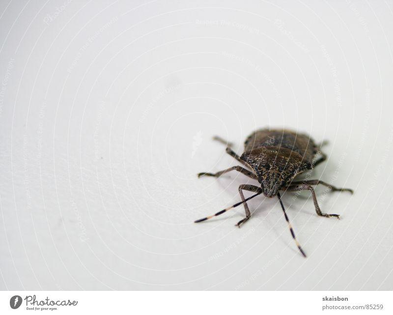 stinkekäfer Beine Tier Käfer Streifen klein nah Neugier Wut Ärger Schwäche nervig Wanze Halbflügler Überwachungsgerät Spitzel Insekt Fühler Schiffsbug