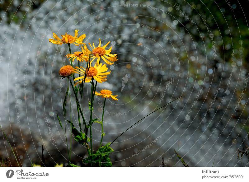 Blume am Wasserfall Natur Pflanze Sommer Blüte natürlich gelb orange Leben Reinheit Erholung Umwelt Umweltschutz Farbfoto Außenaufnahme Nahaufnahme Menschenleer