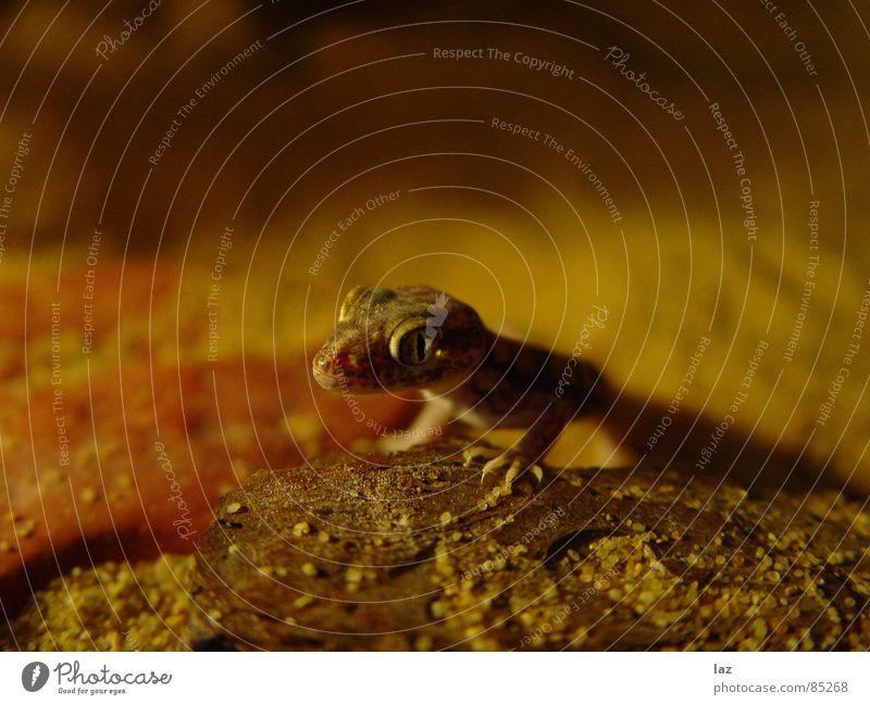 Gecko unlimited khakigrün Echsen Sandkorn Krallen Brennpunkt beige Ocker mehrere Ödland Gekko Stenodaktylus orientalis staubfarben Schatten erdfarben Wüste