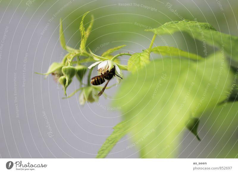 In der Blüte Garten Umwelt Natur Pflanze Tier Sommer Klima Blatt Biene Wespen Insekt 1 Fressen hängen natürlich grün schwarz weiß authentisch Leben Farbe