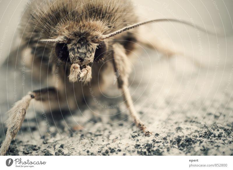 First Contact Behaarung Tier Wildtier Fell Schmetterling Motte Fühler 1 beobachten bedrohlich gruselig Natur Farbfoto Gedeckte Farben Außenaufnahme Nahaufnahme