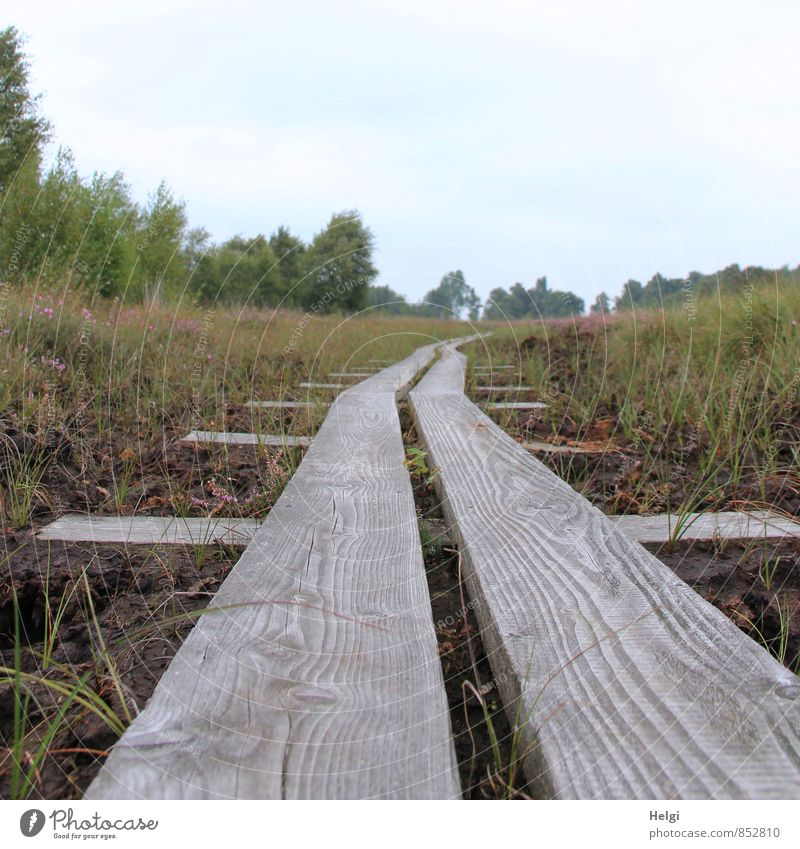 auf dem Holzweg... Umwelt Natur Landschaft Pflanze Himmel Sommer Baum Sträucher Wildpflanze Heidekrautgewächse Moor Sumpf Wege & Pfade Wachstum authentisch