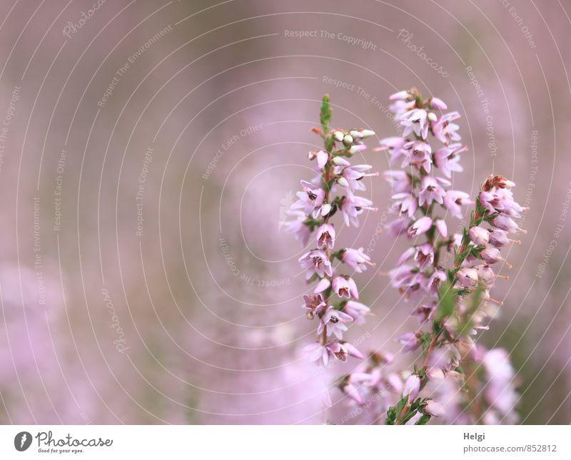 die Heide blüht.... Umwelt Natur Pflanze Sommer Schönes Wetter Blume Blüte Wildpflanze Heidekrautgewächse Bergheide Moor Sumpf Blühend stehen Wachstum