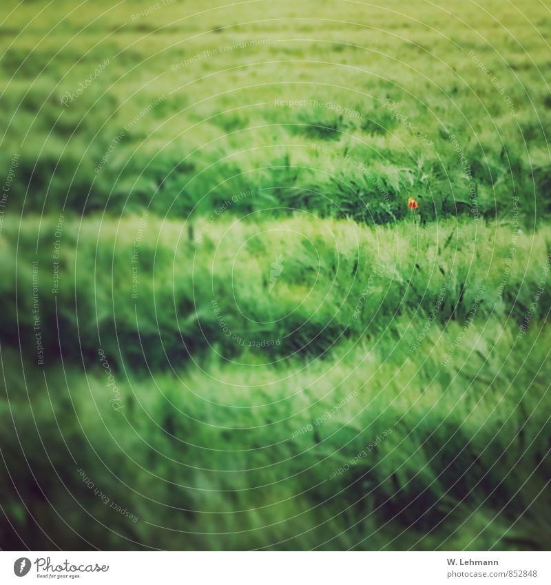 Feld.Grün.Mohn. Natur Pflanze Sommer Landschaft Tier Luft Zufriedenheit