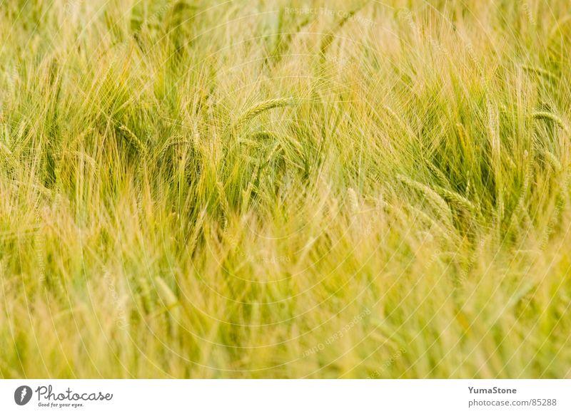 Wind tanzt durchs Gras Natur Sommer Ernährung Getreide Landwirtschaft Ernte