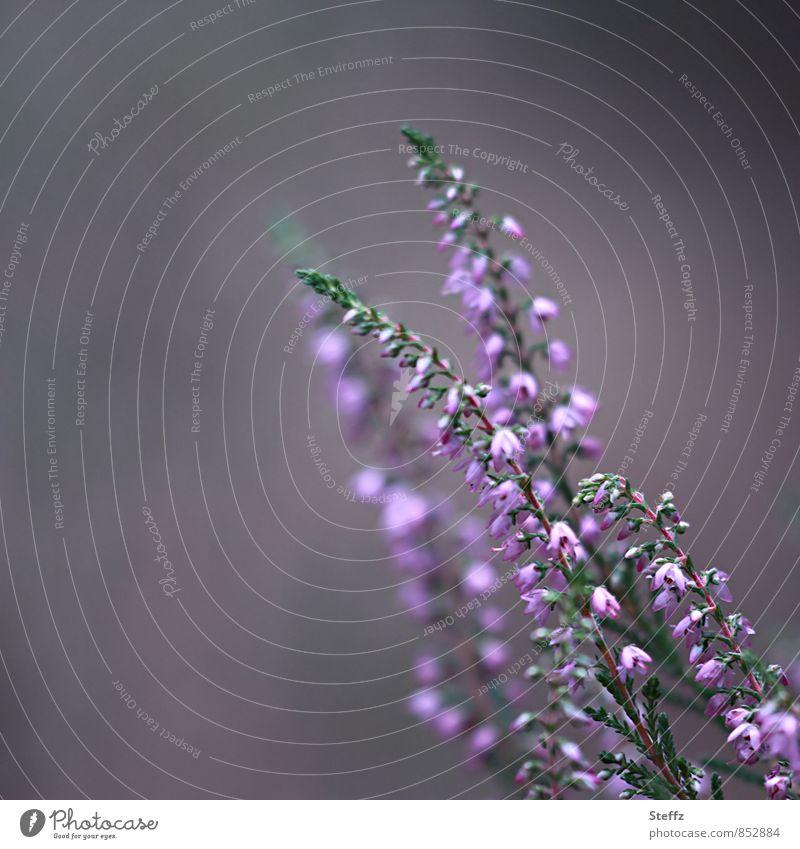 Heideblüte Natur Pflanze Sommer grau Idylle Sträucher ästhetisch Blühend violett Wildpflanze Bergheide Heidekrautgewächse