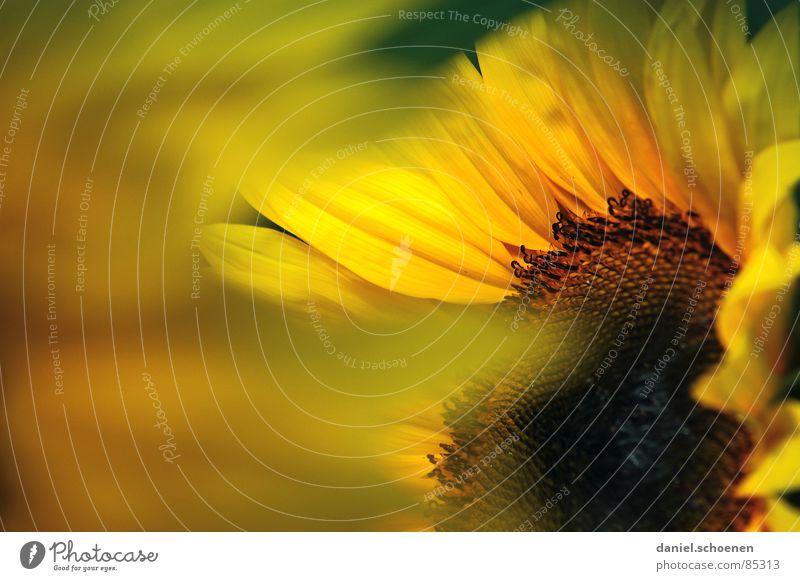 Sonnenblumendetail gelb Sommer Frühling ökologisch Blüte Pflanze Blütenblatt Biene Honig Tiefenschärfe abstrakt Makroaufnahme Blauer Himmel Wärme Natur