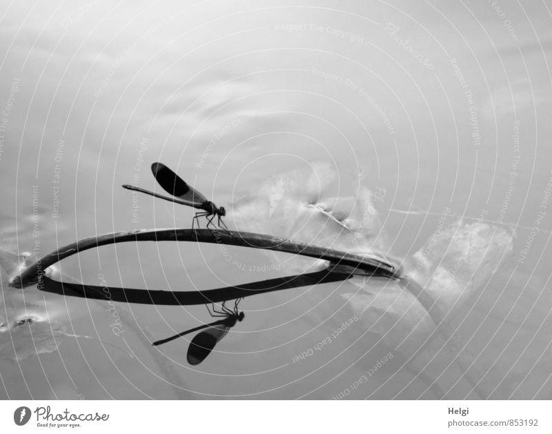 am Bach... Umwelt Natur Sommer Pflanze Wasserpflanze Tier Wildtier Libelle 1 stehen ästhetisch außergewöhnlich schön klein natürlich grau schwarz weiß