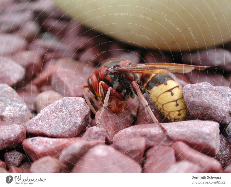 Königlich Insekt Biene König Honig Kieselsteine Wespen Stich Flugtier
