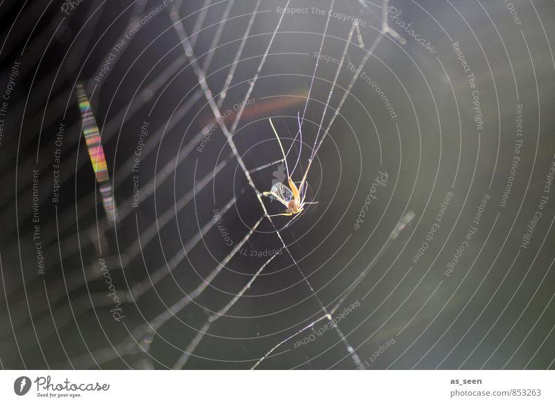 In der Falle Umwelt Natur Tier Sommer Herbst Wetter Garten Park Wiese Spinne Stechmücke Spinnennetz Netz Netzwerk Fressen glänzend hängen Jagd authentisch