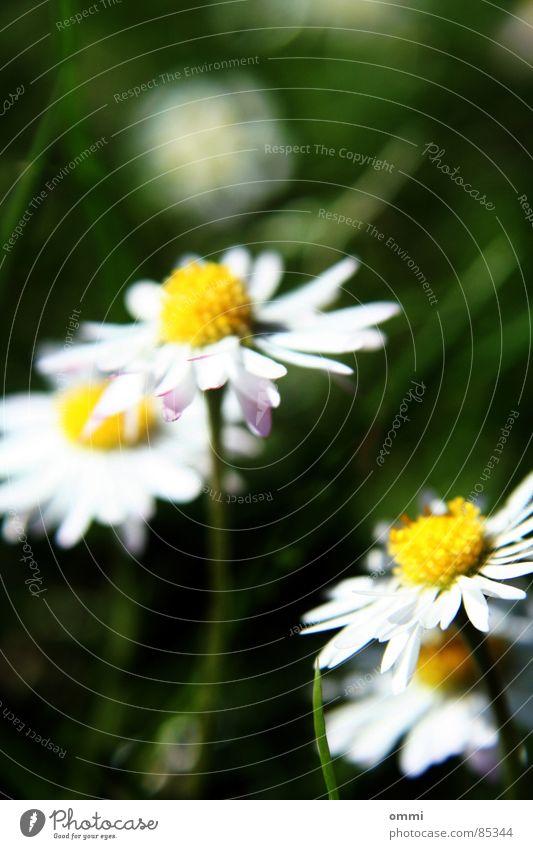 Gänseblümsche Pflanze Blume Gras Blüte Wiese einfach schön klein niedlich gelb grün weiß Glück Reinheit Natur Gänseblümchen Rasen Farbfoto Außenaufnahme
