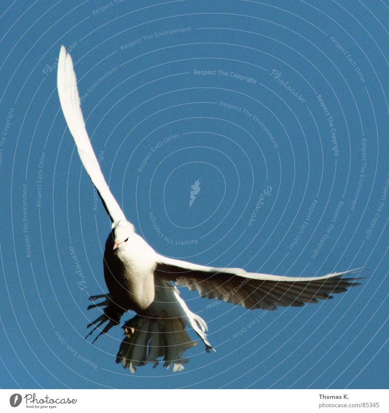 Cleared To Land weiß schön Auge grau Vogel fliegen dreckig Luftverkehr Feder beobachten Frieden Taube Schnabel flattern Tier Federvieh