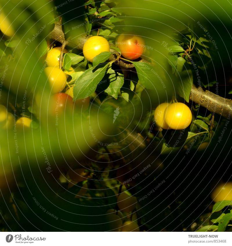 Süß. Ganz ohne Zucker... Natur Sommer Schönes Wetter Baum Blatt Grünpflanze Nutzpflanze Obstbaum Mirabelle Früchte Zweig Garten Essen genießen hängen frisch