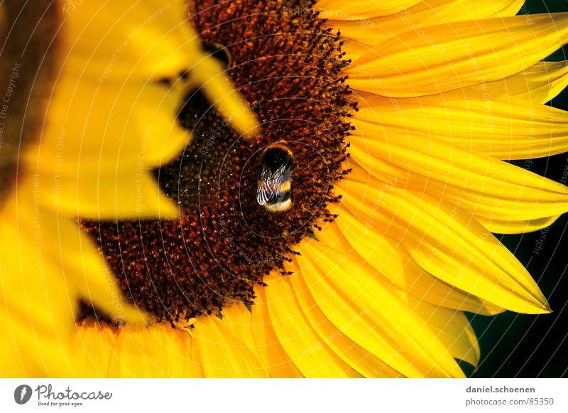 von Bienen und Blumen Staubfäden Sonnenblume gelb Sommer Frühling ökologisch Blüte Pflanze Blütenblatt Honig braun Nektar Himmel Blauer Himmel Wärme Natur